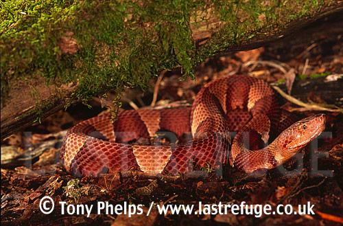 Copperhead (Agkistrodon contortrix), Alabama, USA