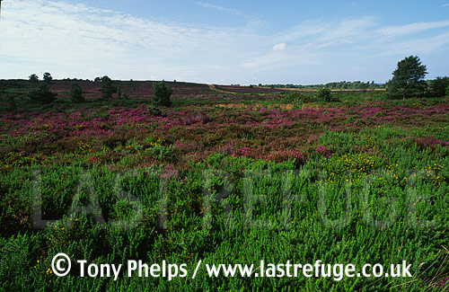 Lowland Heathland, Near Wareham, Dorset, UK