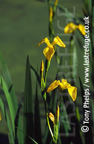 Yellow flag iris (Iris pseudacorus), Dorset UK