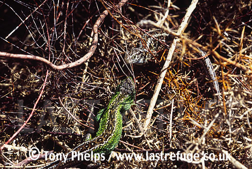 Sand lizard (Lacerta agilis), male in spring, Purbeck, Dorset, UK