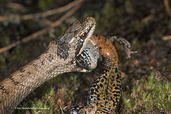 Smooth snake, Coronella austriaca, feeding on viviparous lizard, Zootoca vivipara. Purbeck, Dorset, UK.