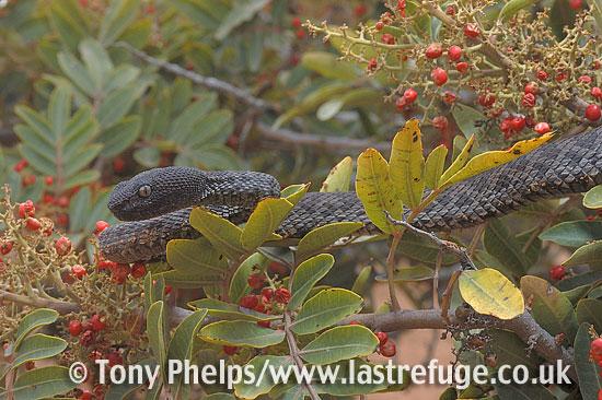 Mangrove pitviper, Cryptelytrops purpureomaculatus. Captive, native to S E Asia.