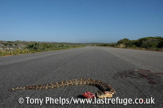 Puff adder, Bitis arietans. Roadkill; West Coast NP, South Africa.