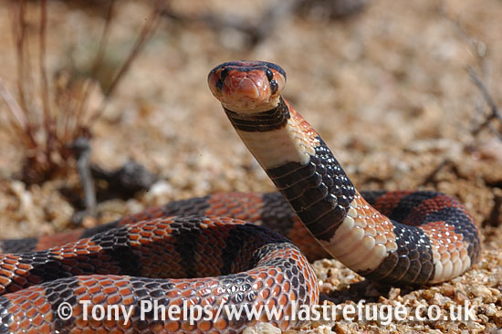 African coral snake, Aspedilaps lubricus. Namaqualand, South Africa.