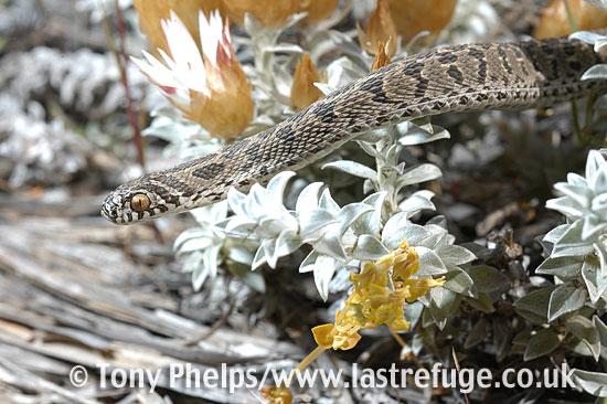 Egg-eating snake, Dasypeltis scabra. Western Cape, South Africa.