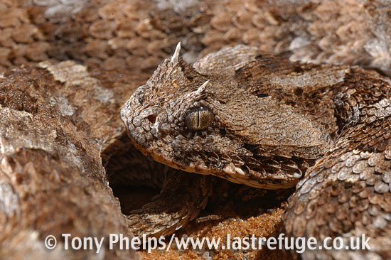 Horned adder, Bitis caudalis. Namaqualand, South Africa.