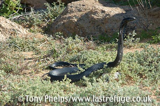 Black spitting cobra, Naja nigricincta woodi. Springbok, Namaqualand, South Africa.
