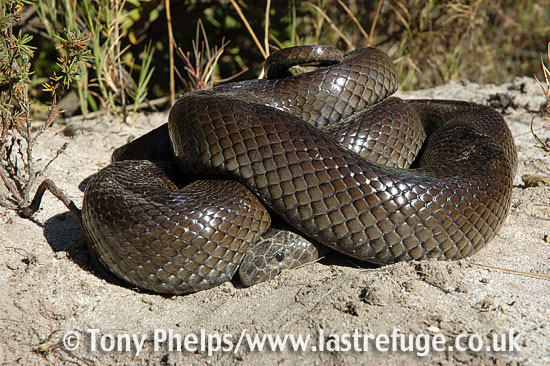 Moles snake, Pseudaspis cana. Adult in defensive coil. Western Cape, South Africa.