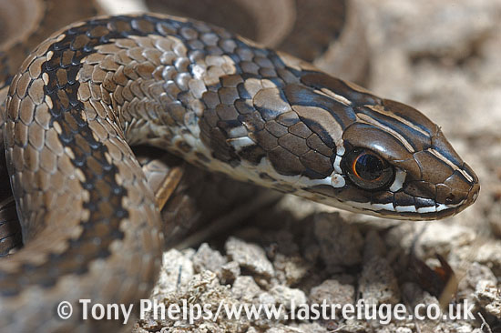 Cross-marked whip snake, Psammophis crucifer. CU of head. DeHoop NR, Western Cape, South Africa.