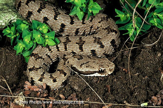 Asp Viper, Vipera aspis francisceredi. Immature male, Central Italy.