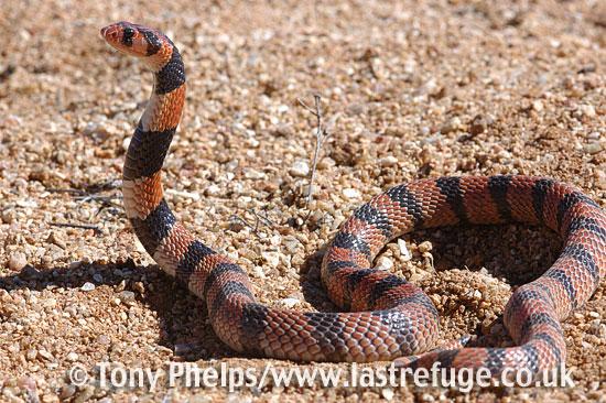 Coral snake, Aspedilaps lubricus. Namaqualand, South Africa.