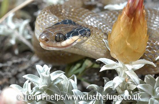 Herald snake, Crotaphopeltis hotamboeia. DeHoop NR, Western Cape, South Africa.