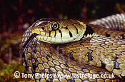 Female grass snake (Natrix natrix) tasting the air, Purbeck, Dorset, UK