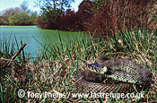 Grass snake (Natrix natrix) Adult female basking by pond, Purbeck, Dorset, UK