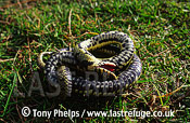 Grass snake (Natrix natrix) shamming death, Purbeck, Dorset, UK