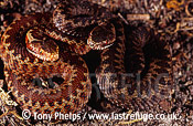 Newborn Adders (Vipera berus), Purbeck, Dorset, UK