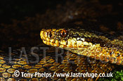 Adder (Vipera berus) close up adult female, Ottershaw, Surrey, UK