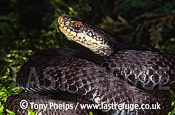 Adder (Vipera berus), melanic male, blue pool, Purbeck, Dorset, UK
