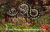 Adders (Vipera berus), male & female, mate guarding, Purbeck, Dorset, UK