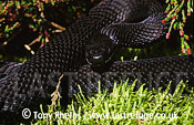 Adder (Vipera berus), melanic (black) male in defensive posture, Purbeck, Dorset, UK