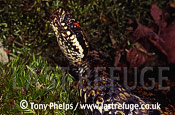 Adder (Vipera berus), adult male, Purbeck, Dorset, UK