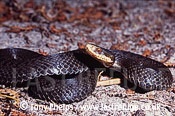 Adder (Vipera berus), Melanistic female, Ringwood, Hampshire, UK