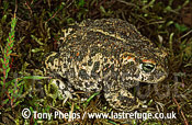 Natterjack (Bufo calamita), Hampshire, UK