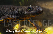 Great-crested Newt (Triturus cristatus), female, Chickerell, Dorset, UK