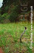 Rinkhals (Hemachatus haemachatus), Kwazulunatal, South Africa