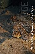 Horned Viper (Cerastes cerastes), Morocco