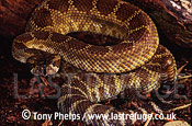 Northern Pacific Rattlesnake (Crotalus oreganus), California, USA