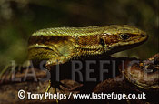 Common Lizard (Lacerta vivipera), adult female, Purbeck, Dorset, UK