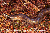 Slow worm (Anguis fragilis), adult male, Purbeck, Dorset, UK