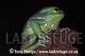 Waxy monkey frog (Phlomedusa savugii), , Mexico