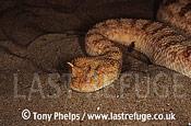 Horned Viper (Cerastes cerastes), , Libya