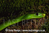 Eastern Green Mamba (Dendroaspis angusticeps), Kwazulunatal, South Africa