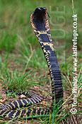 Rinkhals Spitting Cobra (Hemachatus haemachatus), Kwazulunatal, South Africa