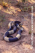 Egyptian cobra (Naja annulifera), N. Province, South Africa
