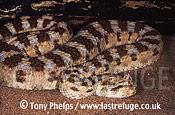 Horned Viper (Cerastes cerastes), , Morocco
