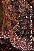 Uracoan rattlesnake, Crotalus durissus vegrandis. Captive. From Venezuala