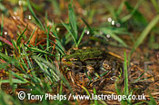 Marsh Frog (Rana ridibunda), juvenile, , Croatia