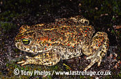Natterjack (Bufo calamita), female, Hampshire, UK