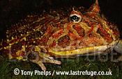 Chacoan Horned Frog (Ceratophrys cranwelli), , South America