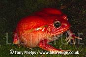 Tomato Frog (Dyscophus antongilii), , Madagascar