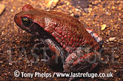 Red Toad (Schismaderma carens), Eastern Transvaal, South Africa