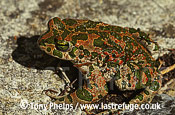 Green Toad (Bufo viridis), male, Trogir., Croatia