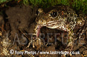 Midwife Toad (Alytes obstetricans), male, , Western Europe