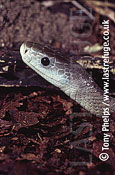 Black Mamba (Dendroaspis polylepis), , South Africa
