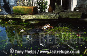 Common Frog (Rana temporaria) spawning in garden pond, Swanage, Dorset, UK