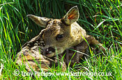 Roe Deer (Capreolus capreolus), fawn 2 days old. Surrey, UK